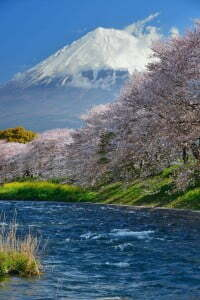 Cherry blossom with Mount Fuji
